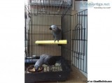 African Grey  with the cage for sale