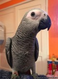African Grey Baby Parrot 14 Months Inc Cage