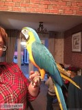cute macaw for sale
