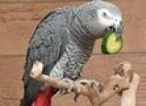 African Grey male 2 years old in Dudley
