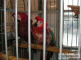 proven breeder macaws selling out
