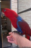 hand reared Eclectus parrot for sale TEXT ME AT 424 261 0379