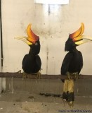 Rhinoceros Hornbill for sale TEXT me at 424 261 0379