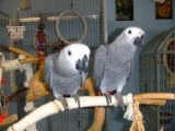 2 young african grey parrots