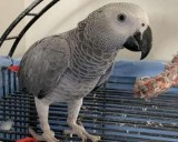 Male African Grey Parrot With Cage and All Accessories