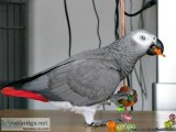 Beautiful Hand Reared Baby African Grey