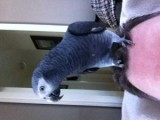 Two African Grey Parrots Available