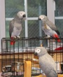 Lovely Pair of African Greys for valentine