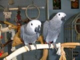 African Grey Parrots need new home