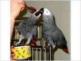 6 years old African Grey