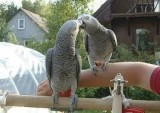 Sweet and lovely African grey parrots