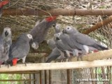 Adorable Talking African Grey Parrots
