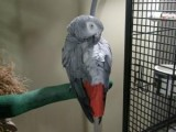 African Grey Parrot Ready