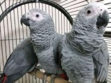 Beautiful Male and Female African Grey Parrots for sale