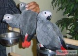 home trained african gray parrots for sale