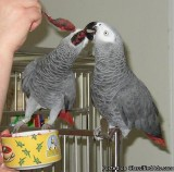 Talkative pair Congo African Grey parrots available