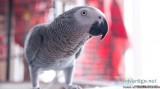 African Grey Parrot for sales
