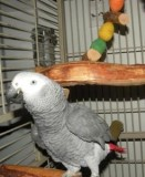 lovely male and female African grey paerrots ready now