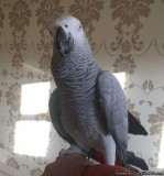 African Grey 13 months old