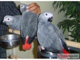 CONGO AFRICAN GREY PARROTS AVAILABLE.