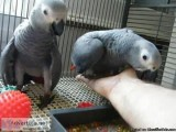 African Grey parrots male and female for sale.