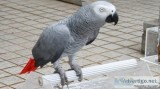 Adorable Tame African Grey Parrots for Sale..