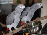 Congo African Grey Parrots - For Sale