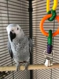 Beautiful Male and Female African Grey Parrots for sale.