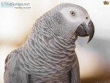 Congo African grey is currently available