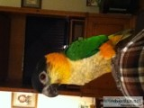 Male blackeheaded caique for sale