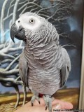 PAIR OF CONGO AFRICAN GREY PARROTS FOR SALE.