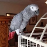Beautiful Male and Female Congo African Grey Parrots for sale.