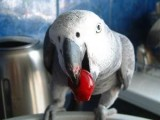 This is for you African Grey Congo Parrot ready for a new home