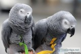 Pair Of African grey For Sale..