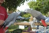 Gorgeous Pair of talking parrots for new homes