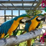 2 Blue and Gold Macaw Parrots Now Available With a Cage