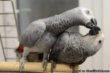 A pair of Congo African Grey Parrots