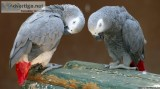 Pair of Talking African Grey parrots..