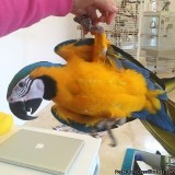 FEMALE BLUE AND GOLD MACAW WITH CAGE FOR SALE