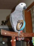 Friendly HAND FED pair of Congo African Grey babies