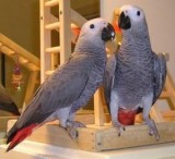 Congo African Grey Parrots Available