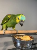 Hand Reared Blue Fronted Amazon Parrot For Sale