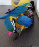 Blue and Gold macaw Tamed for sale