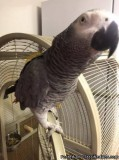 HANDREARED BABY AFRICAN GREY PARROTS WITH CITIES..