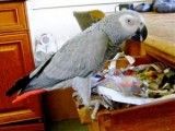 African Grey Parrots for good homes