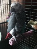 Awesome pair of talking african gray parrots