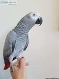 Congo African grey is currently available.