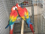 SXSXCD Scarlet Macaw Available