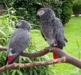 African Grey and other parrot species available