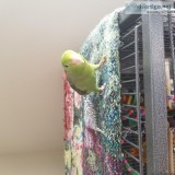 Parrotlet and Cage